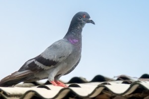 Pigeon Pest, Pest Control in Belgravia, Westminster, SW1. Call Now 020 8166 9746