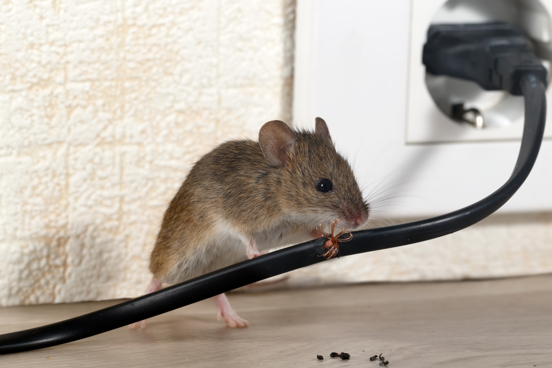 Mice Infestation, Pest Control in Belgravia, Westminster, SW1. Call Now 020 8166 9746