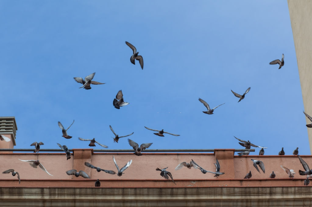 Pigeon Control, Pest Control in Belgravia, Westminster, SW1. Call Now 020 8166 9746